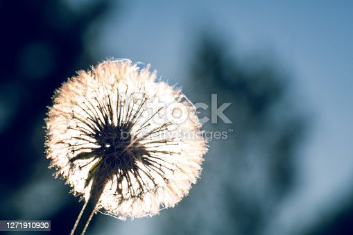 closed up of a nature dandelion in backlit with a bit spider web