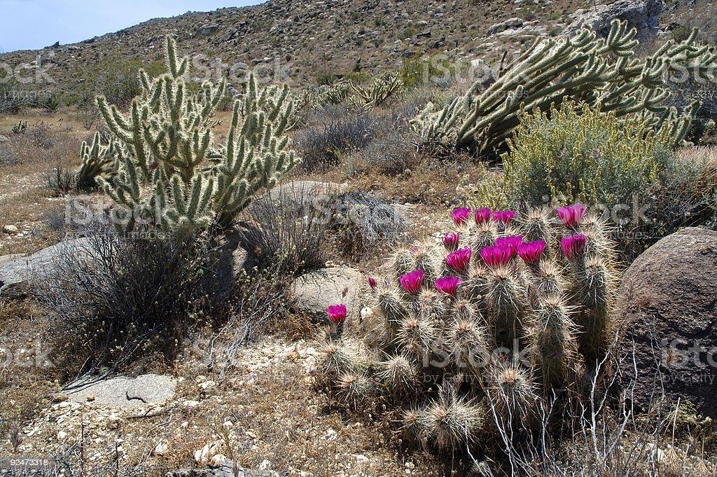 Natur: Wüstenkaktus Lizenzfreies stock-foto