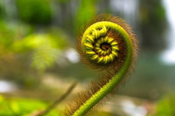 蕨類和斐波那契系列的自然細節 - 重複螺旋型 個照片及圖片檔