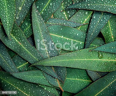 istock Nature Eucalyptus leaves with water rain drop background 849700190
