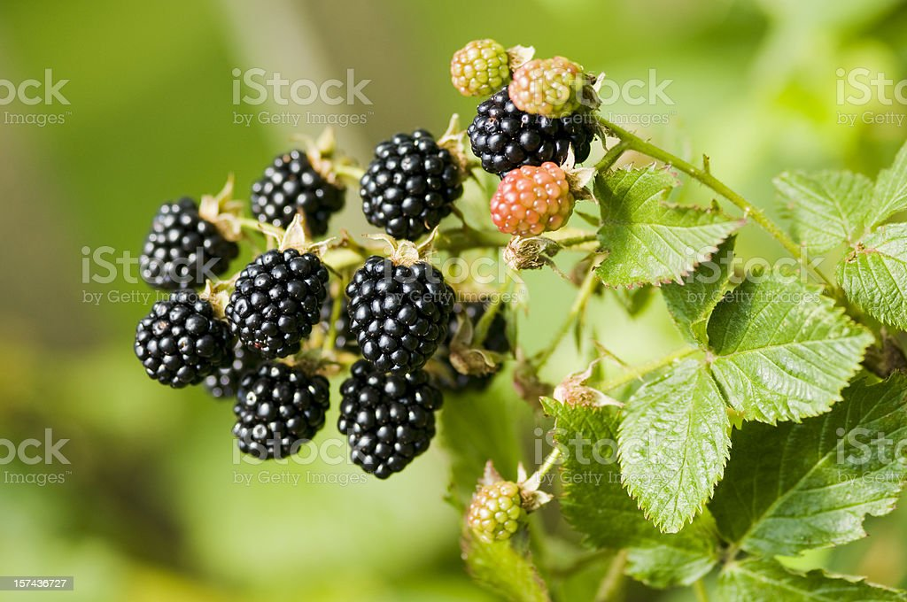 Nature food - blackberries bunch on a farm. stock photo