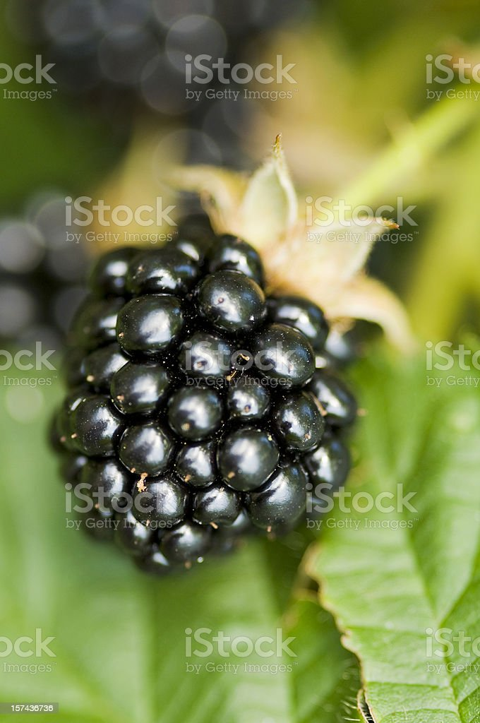 Nature food - blackberry in the garden. royalty-free stock photo