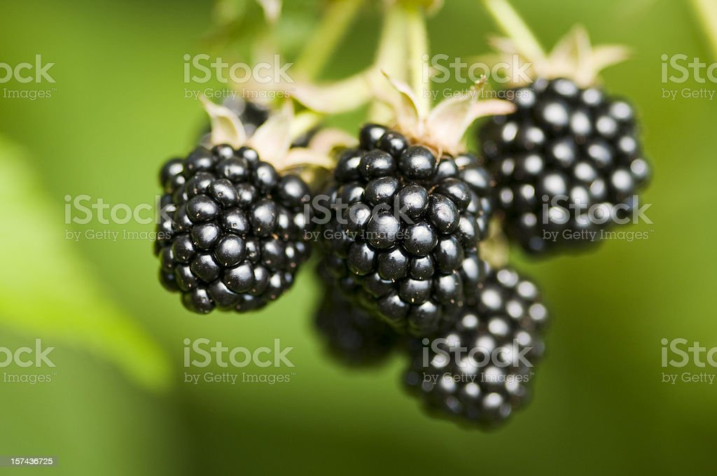 Nature food - fresh blackberries bunch on a farm. royalty-free stock photo