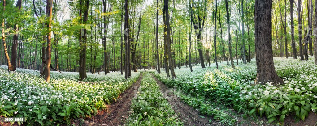 Nature forest panorama with white flowers - Wild Garlic stock photo