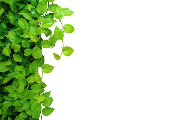 bordure de cadre de la nature de coeur en forme de feuilles jaunes vertes vigne de lierre du diable ou pothos doré, plante feuillage tropical isolé sur fond blanc avec le chemin de découpage. - couleur des végétaux photos et images de collection