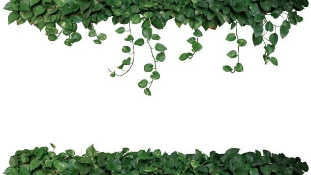 cadre nature vert panaché de feuilles de lierre du diable ou de pothos doré (epipremnum aureum), souhait de bush de plante tropicale de feuillage suspendus vigne branches isolé sur fond blanc, un tracé de détourage. - couleur des végétaux photos et images de collection