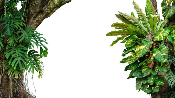 "nature frame of jungle trees with tropical rainforest foliage plants (monstera, bird""u2019s nest fern, golden pothos and forest orchid) growing in wild isolated on white background with clipping path. - jungle стоковые фото и изображения"
