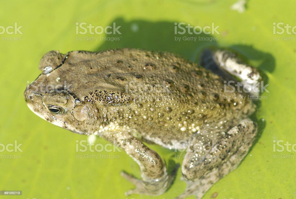 nature frog royalty-free stock photo