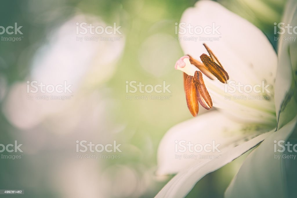 Nature Garden Background Lily Petals & Stamen Anthers stock photo