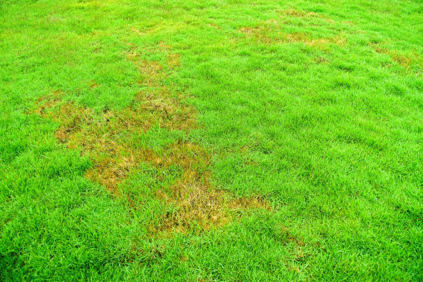 Nature, Green lawns, lawns, Background, surface, Rotten, pathogen Pests and disease cause amount of damage to green lawns, lawn in bad condition and need maintaining. fungus stock pictures, royalty-free photos & images