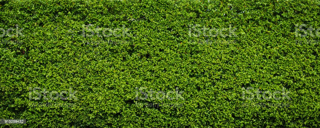 Nature green leaf background and textured, Leaves wall for backdrop stock photo
