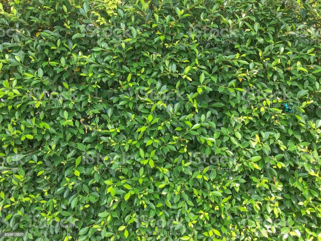 자연 녹색 잎 배경 질감, 나무 부시 - 로열티 프리 0명 스톡 사진