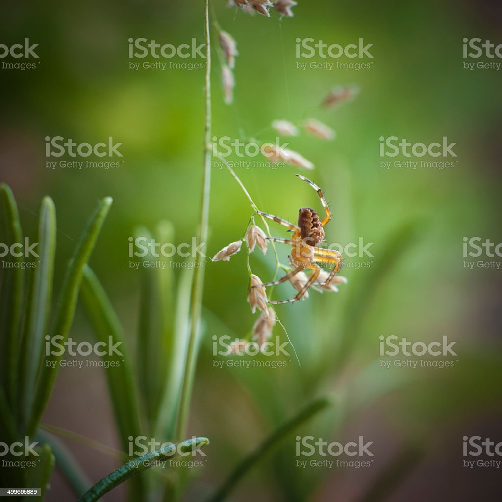Nature image of young araneus spider building a web stock photo