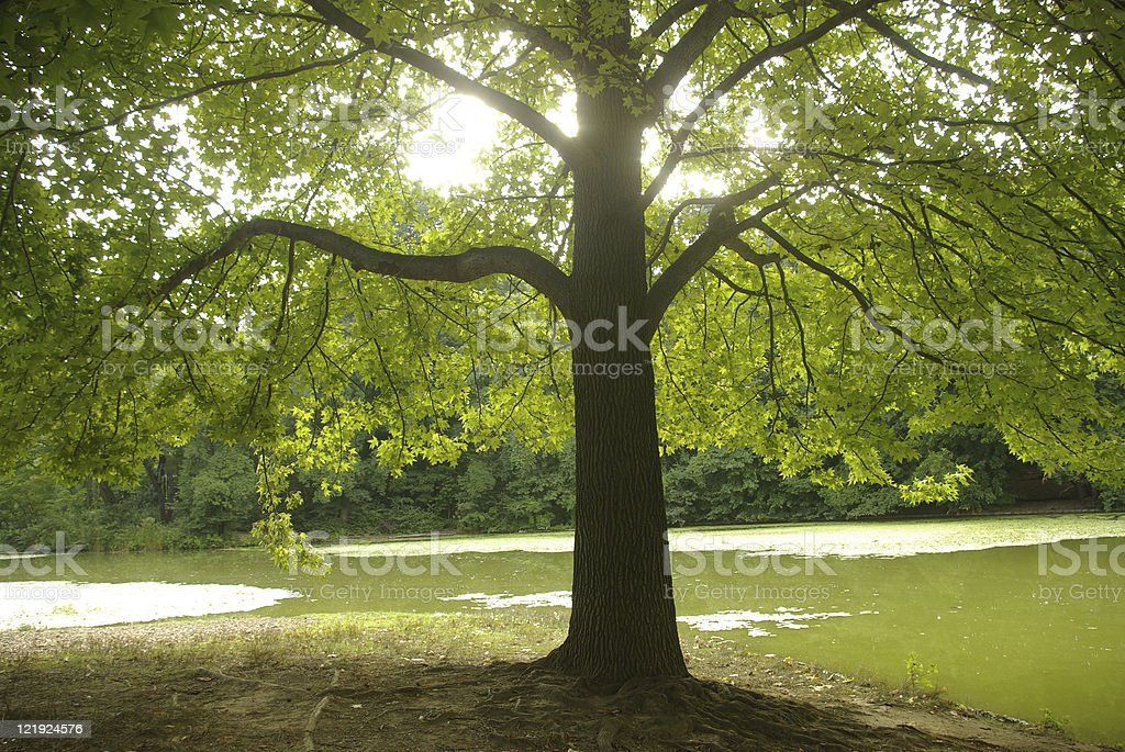 nature in the park with majestic maple tree royalty-free stock photo