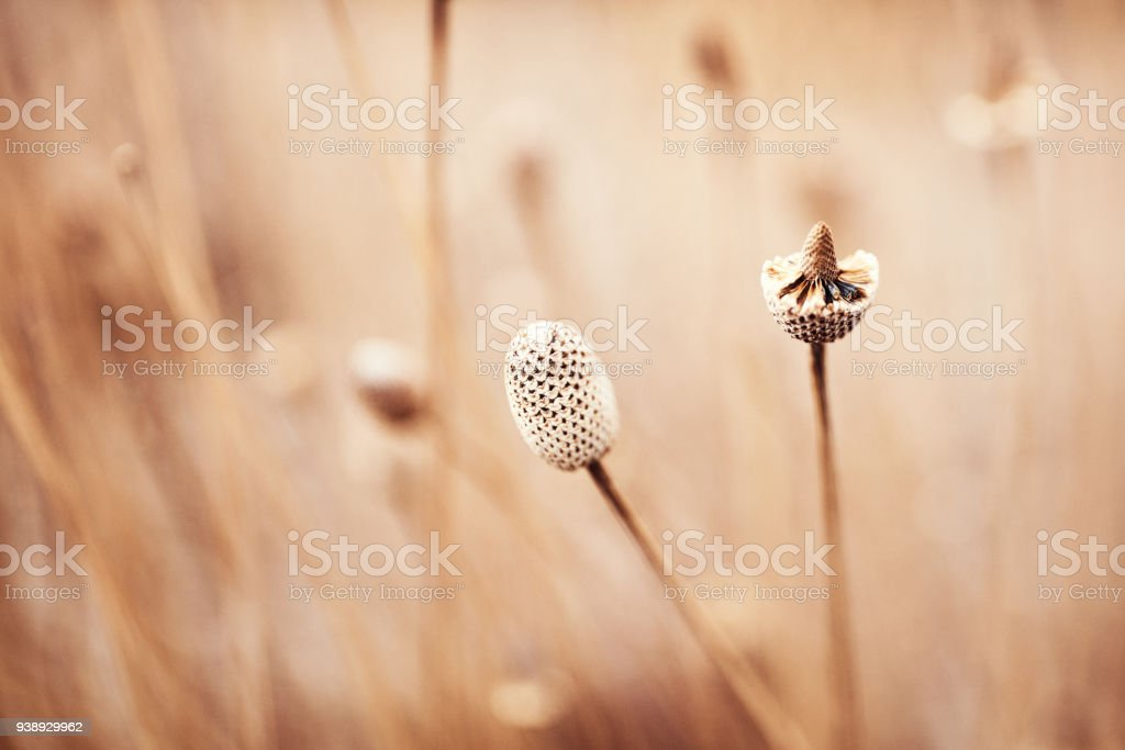 Nature in winter. Dried plant heads in natural light