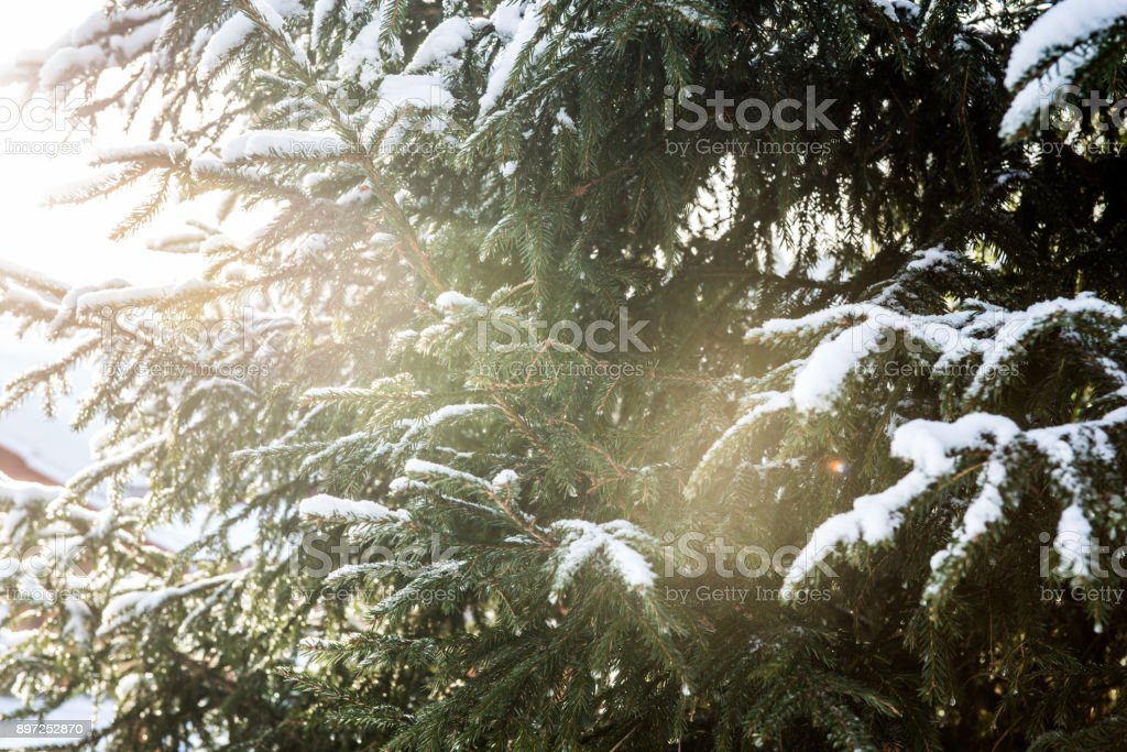 Nature in winter. Winter forest landscape with snow in cold weather...