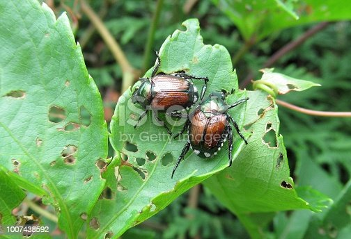 Nature...Two Japanese Beetles are Eating Leaves in a backyard garden.