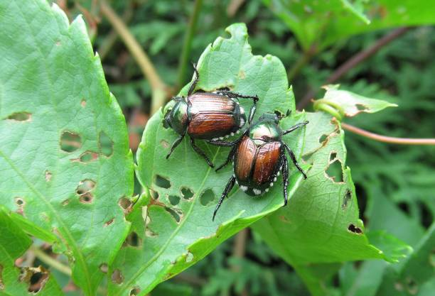 """nature, """" invasive species; japanese beetles, a pair eating leaves"""". - introduced species stock pictures, royalty-free photos & images"""