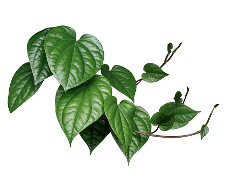 Tropical leaves, shrubs,sequins (Wild Betel Leafbush,Chaplo) Used in architectural decoration, landscaping on white background with clipping path.