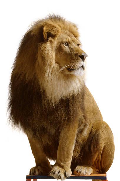 Nature lion isolated on white background picture id182396370?b=1&k=6&m=182396370&s=612x612&w=0&h=auavg0l uivzisentgzkpsrijh4o3nwlikfwbthlbm8=