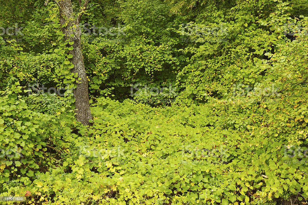 Nature: Lush Forest Foliage royalty-free stock photo