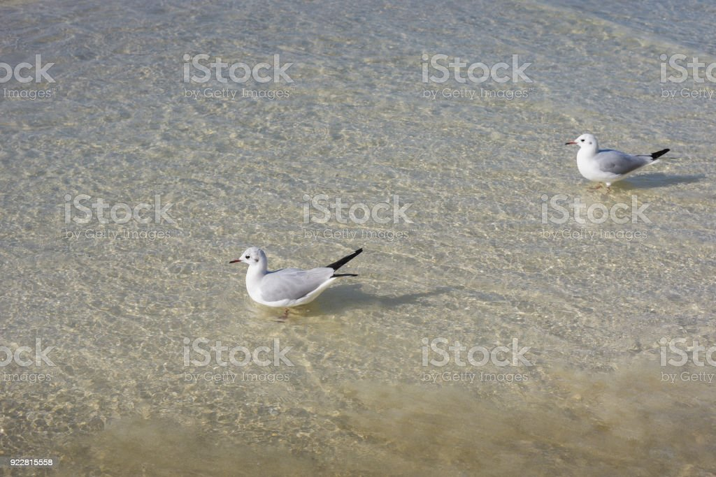 Nature of birds, sea gulls on the beach of the Persian Gulf.
