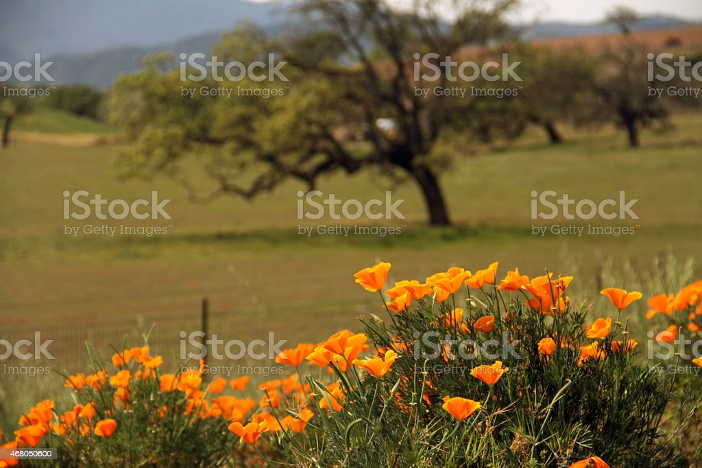 Nature of California & Orange Poppy Flowers and Tree stock photo