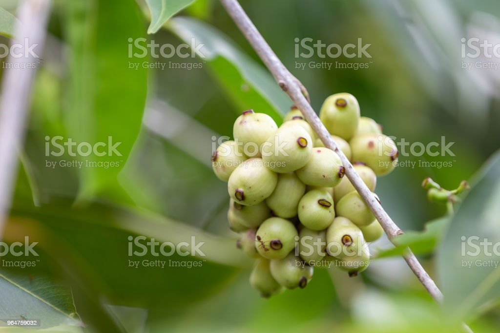 Nature organic Jambolan plum royalty-free stock photo