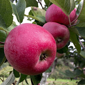 Sweet fruit apple growing on tree with leaves green