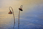 winter lotus field