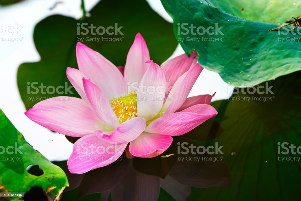 Nature Pink Colour Lotus In Forest Pool Lotus Flowers Is Good