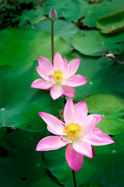 Royalty free thailand flower buddhism water lily pictures images nature pink colour lotus in forest pool lotus flowers is good meaning for buddhism mightylinksfo