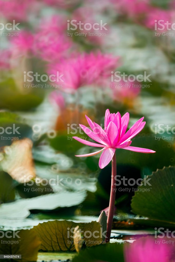Nature pink colour lotus in forest pool lotus flowers is good nature pink colour lotus in forest pool lotus flowers is good meaning for buddhism mightylinksfo