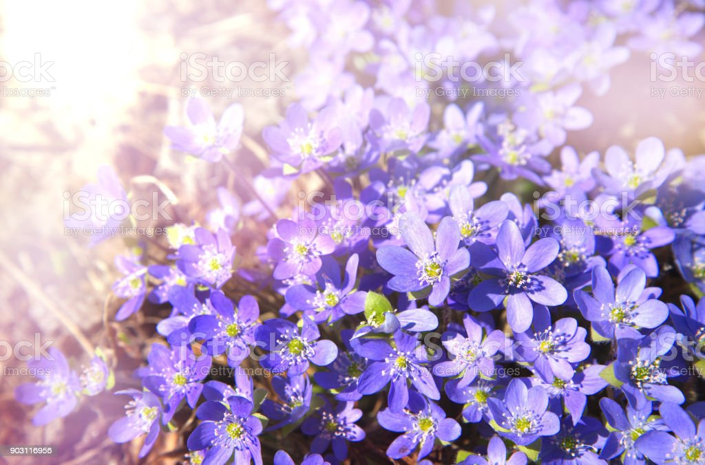 nature plant purple violet flower in spring with light soft background stock photo