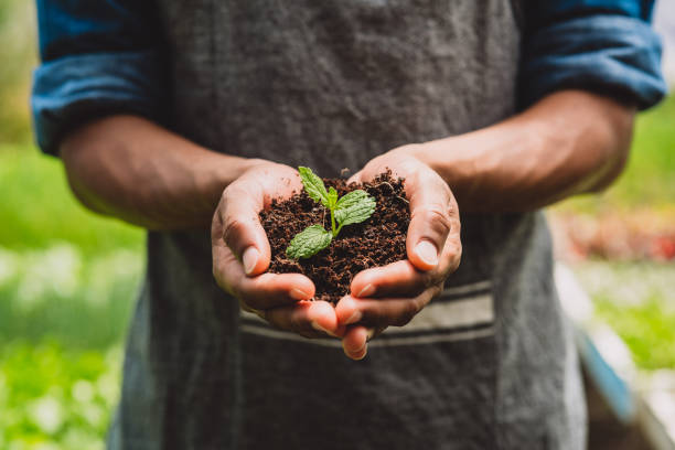 Nature produces so much beauty for us to enjoy Closeup shot of an unrecognisable man holding a plant growing in soil in a garden crop plant stock pictures, royalty-free photos & images
