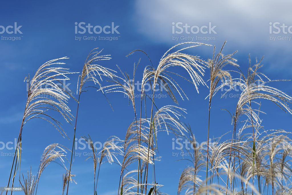 nature reed royalty-free stock photo