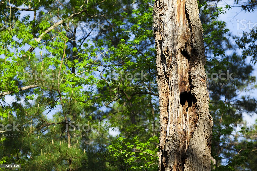 Nature:  Rotten tree with holes as  homes for flying squirres royalty-free stock photo