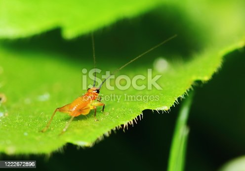 Nature Scene of young cricket in garden