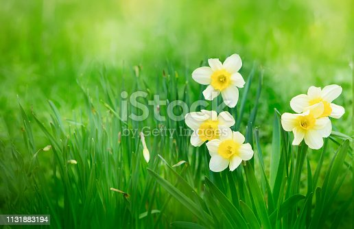 639245704 istock photo Nature scene with blooming daffodil flowers 1131883194