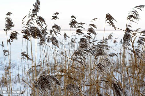 Nature scenery during winter. On foreground withered reed, on the background landscape of frozen lake.
