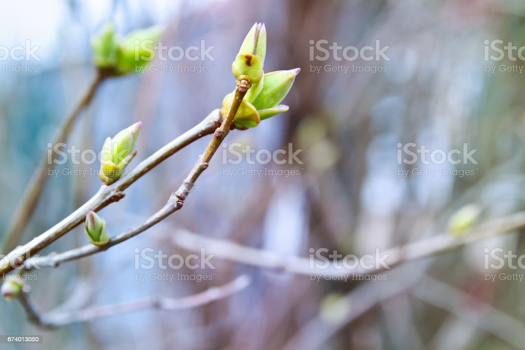 Nature seasonal spring background with the spring buds and branches. royalty-free stock photo