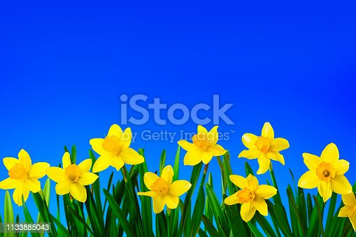 639245704 istock photo Nature spring background with Yellow daffodils flowers 1133885043