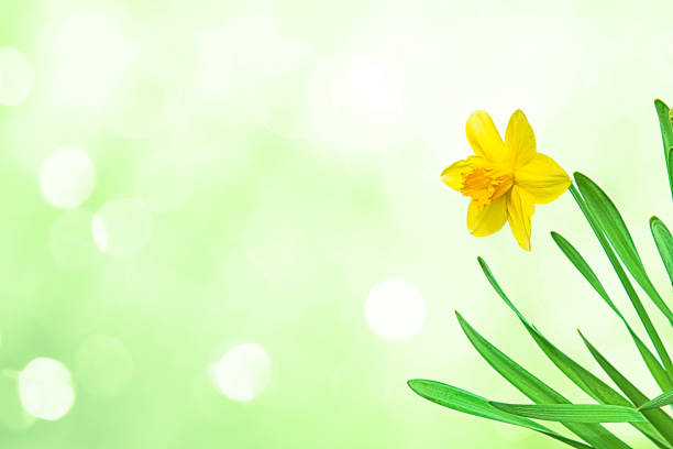 Nature spring background with Yellow flowers daffodils stock photo