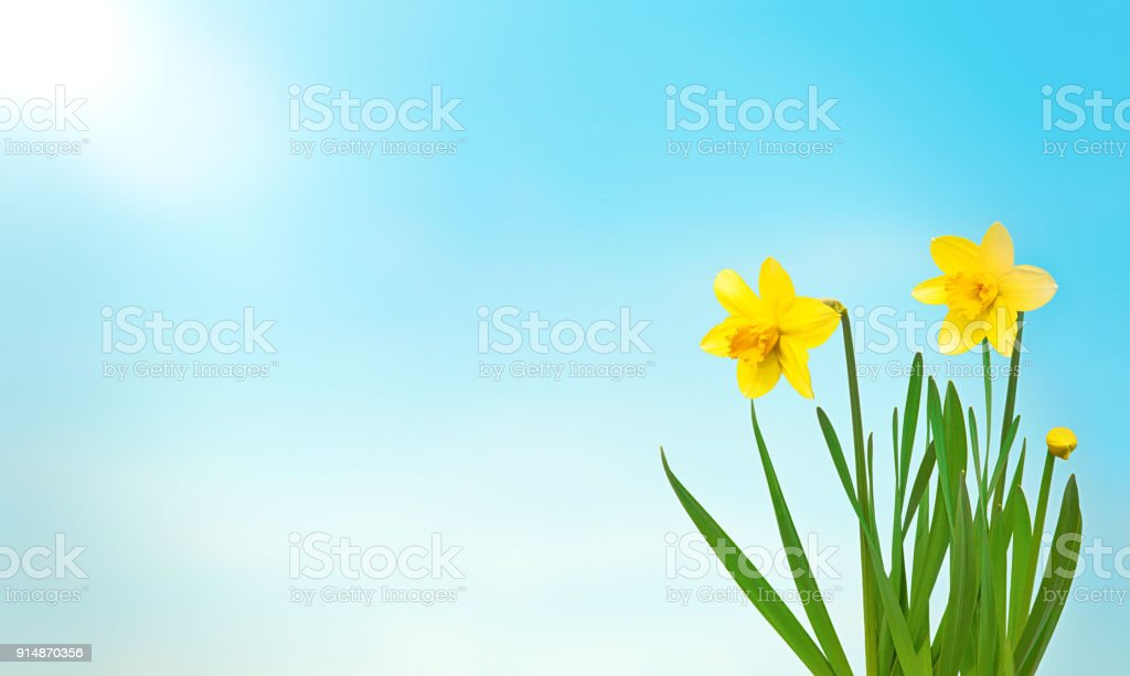 Nature spring background with yellow flowers daffodils stock photo nature spring background with yellow flowers daffodils royalty free stock photo mightylinksfo