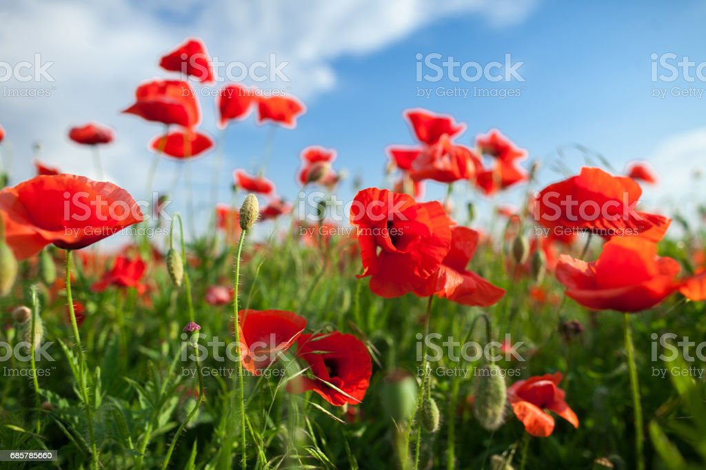 Nature, spring, blooming flowers concept - closeup on beautiful flowers and stems of the blooming red poppy on background of blue sky and clouds - empty space for text foto de stock libre de derechos