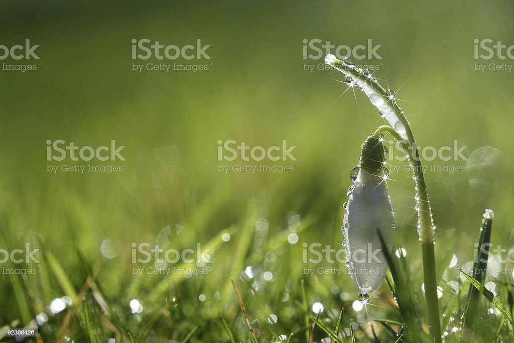 nature - star sparkle snowdrop flower in morning dew royalty-free stock photo