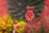 Nature - Succulents - shades of red in San Diego, CA, United States
