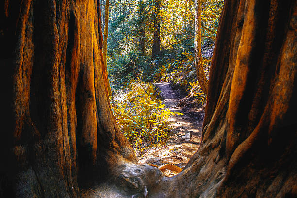 Nature Trail in Northern California view of Dipsea Trail running through Muir Woods in Marin County of Northern California national forest stock pictures, royalty-free photos & images