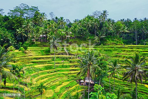 Nature view of the Tegalalang private paddy field by the hill here in Bali.