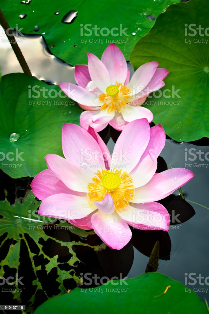 Nature Yellow Colour Lotus In Forest Pool Lotus Flowers Is Good